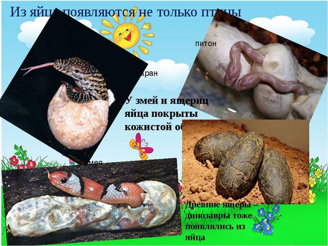 Из яйца появляются не только птицы варан питон змея У змей и ящериц яйца покр...