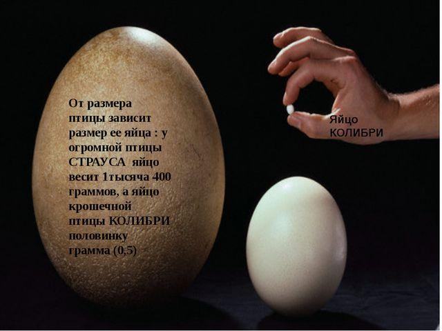 От размера птицы зависит размер ее яйца : у огромной птицы СТРАУСА яйцо весит...