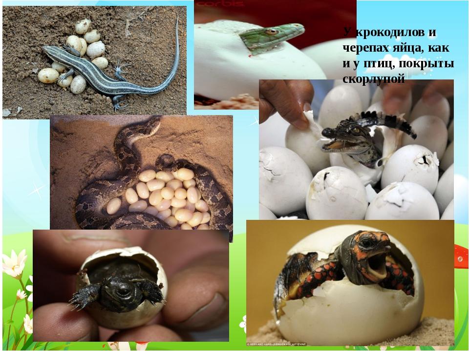 У крокодилов и черепах яйца, как и у птиц, покрыты скорлупой