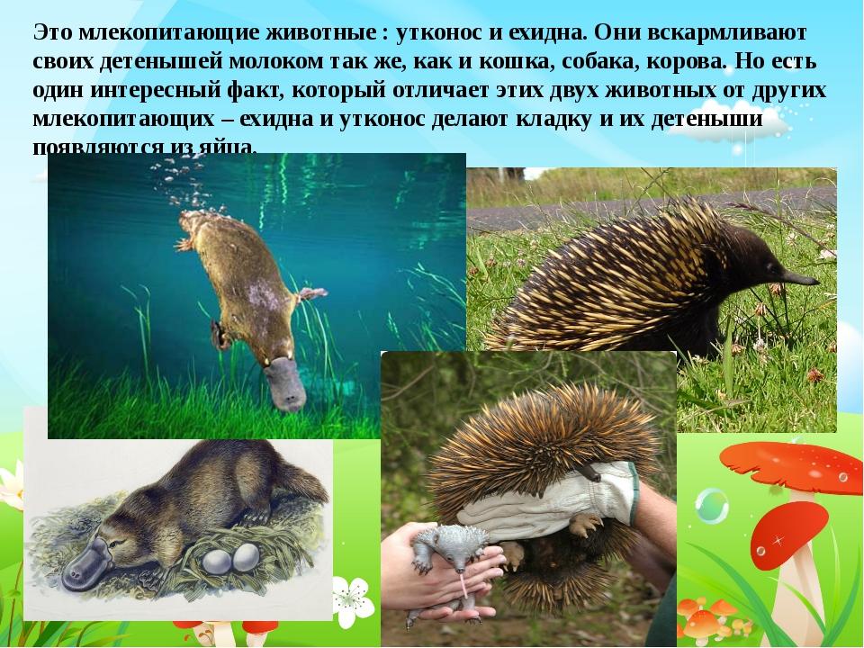 Это млекопитающие животные : утконос и ехидна. Они вскармливают своих детеныш...