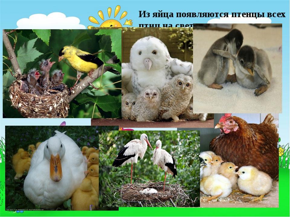 Из яйца появляются птенцы всех птиц на свете
