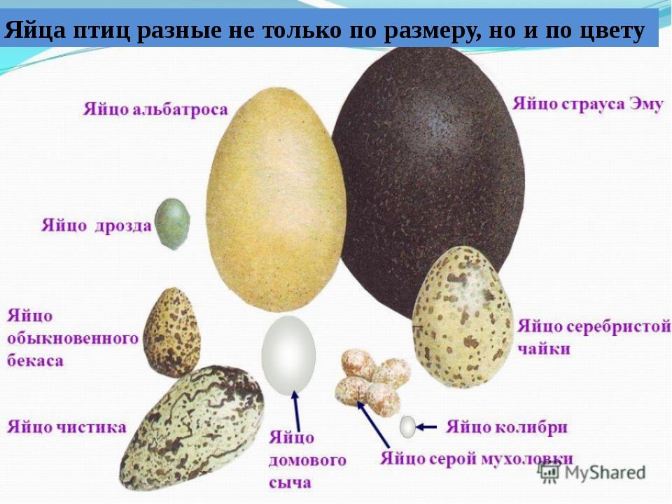 Яйца птиц разные не только по размеру, но и по цвету