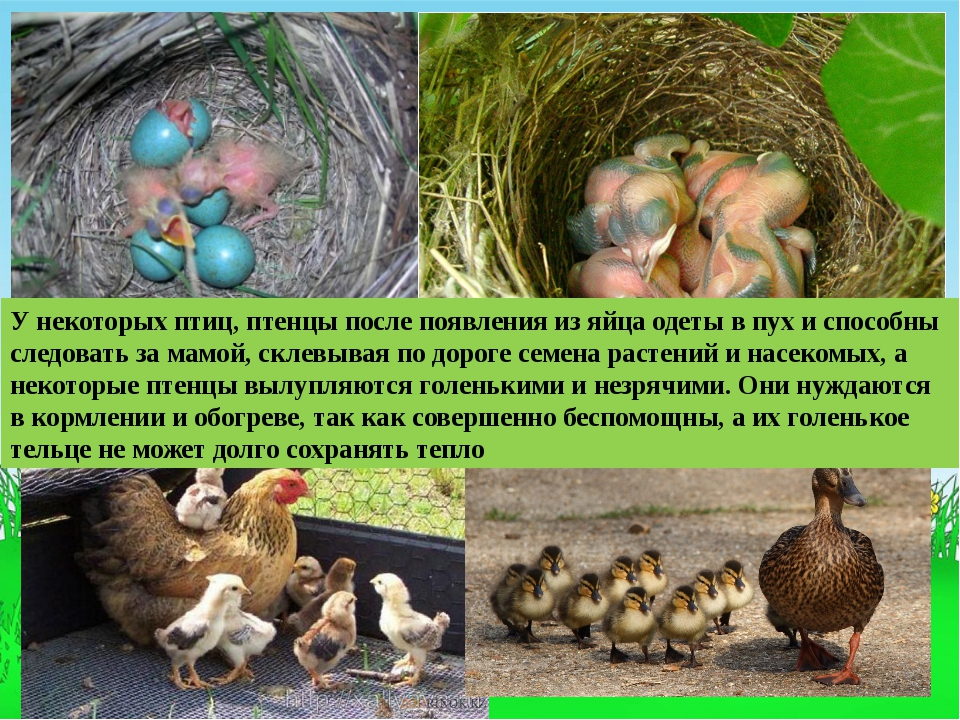 У некоторых птиц, птенцы после появления из яйца одеты в пух и способны следо...