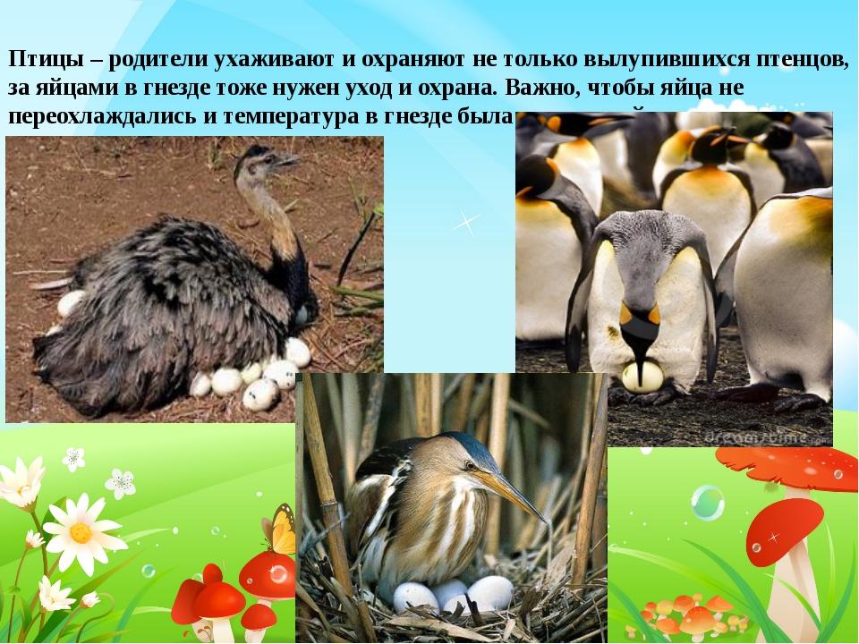 Птицы – родители ухаживают и охраняют не только вылупившихся птенцов, за яйца...