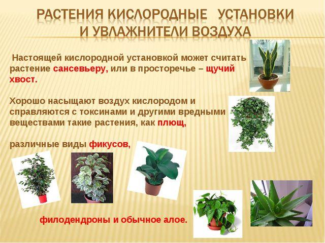 Настоящей кислородной установкой может считать растение сансевьеру, или в пр...