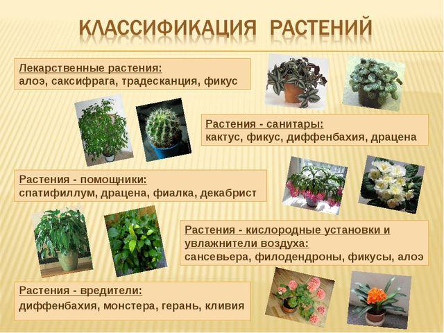 Растения - вредители: диффенбахия, монстера, герань, кливия Лекарственные рас...