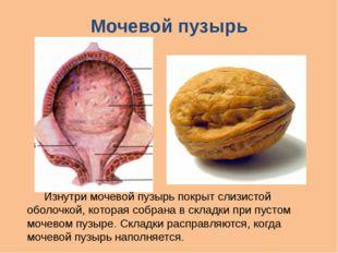 Мочевой пузырь Изнутри мочевой пузырь покрыт слизистой оболочкой, которая со