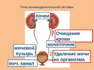 Роль мочевыделительной системы почки моч. канал мочеточник мочевой пузырь Уда
