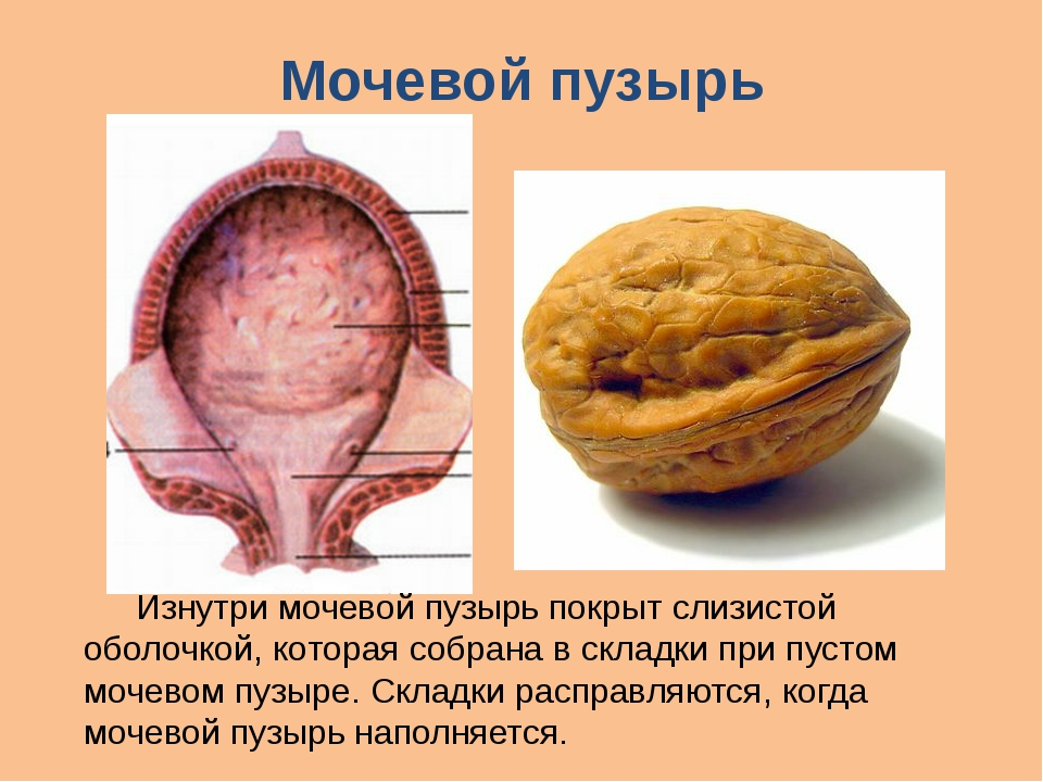 Мочевой пузырь Изнутри мочевой пузырь покрыт слизистой оболочкой, которая со...