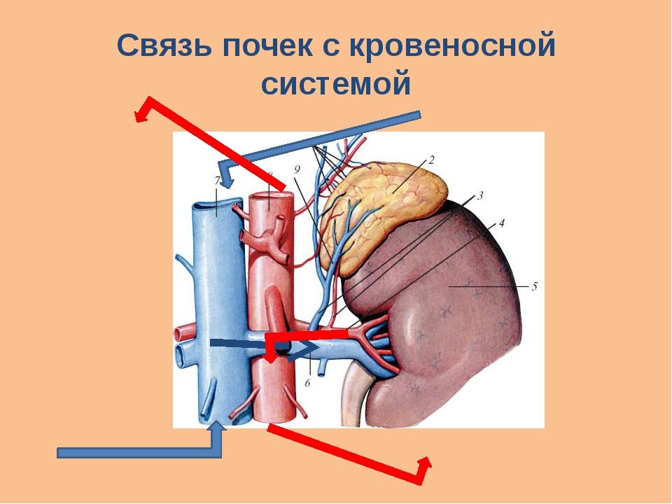 Связь почек с кровеносной системой