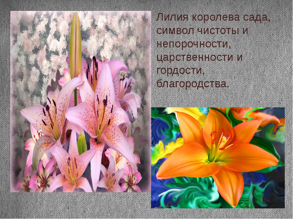 Лилия королева сада, символ чистоты и непорочности, царственности и гордости,...