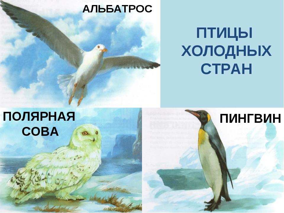 АЛЬБАТРОС ПИНГВИН ПОЛЯРНАЯ СОВА ПТИЦЫ ХОЛОДНЫХ СТРАН