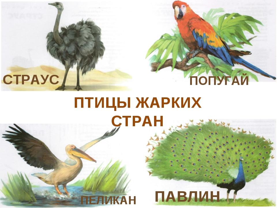 СТРАУС ПОПУГАЙ ПАВЛИН ПЕЛИКАН ПТИЦЫ ЖАРКИХ СТРАН
