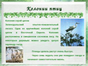 Колонии птиц Колония серой цапли Зеленодольский опытно-показательный лесхоз.