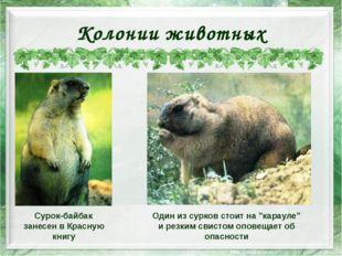 Колонии животных Сурок-байбак занесен в Красную книгу Один из сурков стоит на
