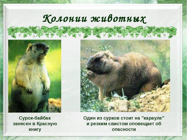 Колонии животных Сурок-байбак занесен в Красную книгу Один из сурков стоит на...