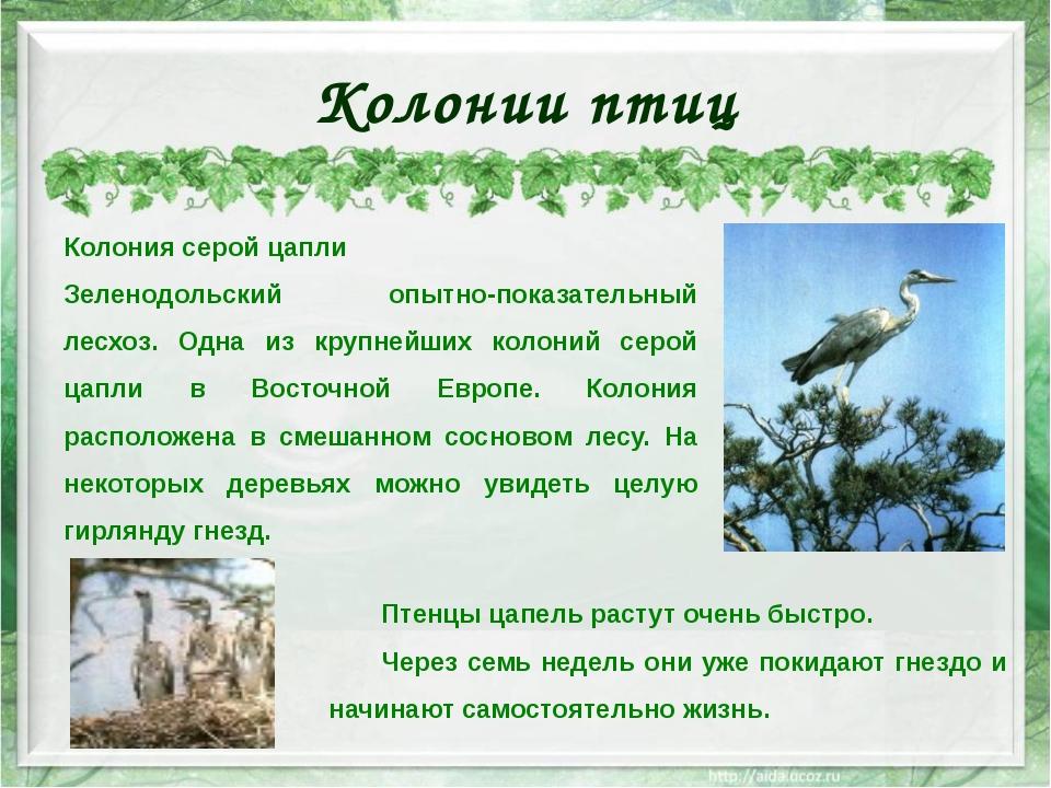 Колонии птиц Колония серой цапли Зеленодольский опытно-показательный лесхоз....