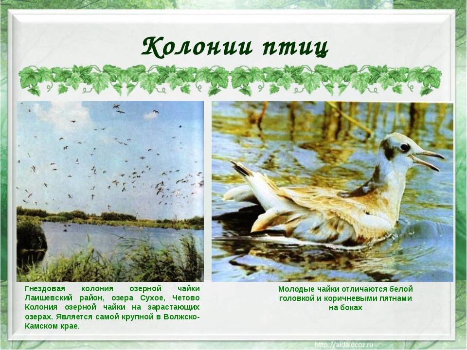 Колонии птиц Гнездовая колония озерной чайки Лаишевский район, озера Сухое, Ч...