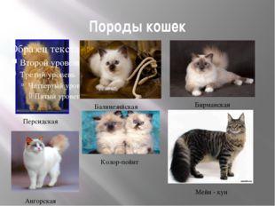 Породы кошек Персидская Колор-пойнт Ангорская Балинезийская Бирманская Мейн -