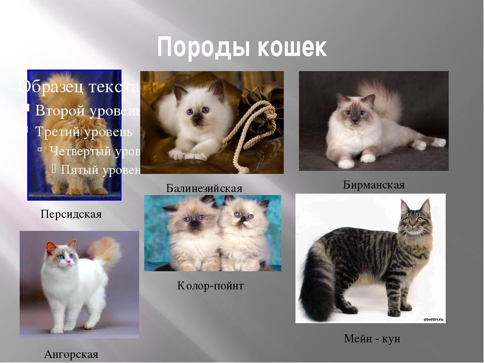 Породы кошек Персидская Колор-пойнт Ангорская Балинезийская Бирманская Мейн -...