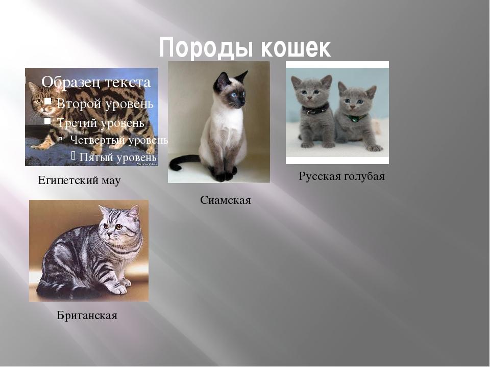 Породы кошек Египетский мау Сиамская Русская голубая Британская