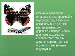 Гусеницы адмиралов питаются только крапивой и чертополохом, а бабочки-адмирал