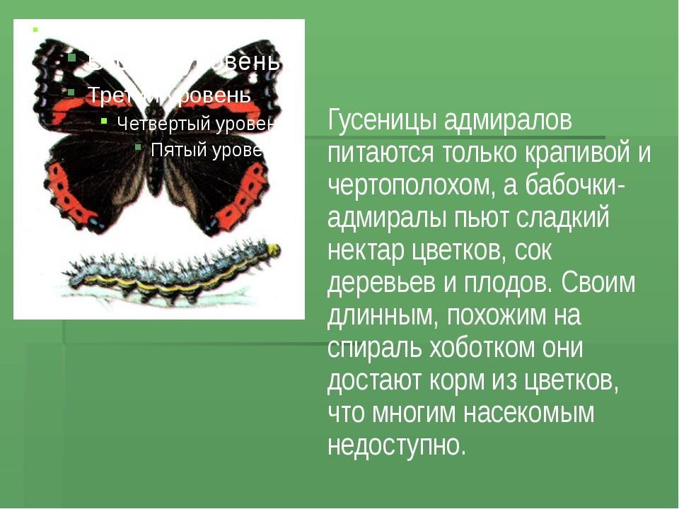 Гусеницы адмиралов питаются только крапивой и чертополохом, а бабочки-адмирал...