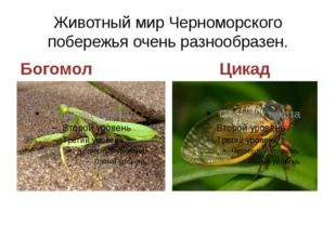 Животный мир Черноморского побережья очень разнообразен. Богомол Цикад