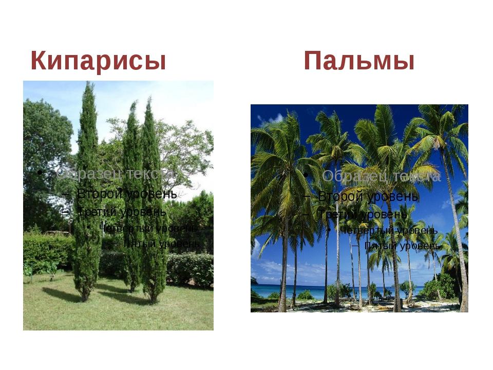 Кипарисы Пальмы