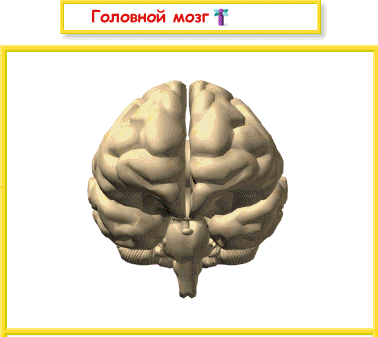 E:\Костя Косточкин\Головной мозг.dib