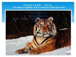 А м у р с к и й т и г р. Все виды и подвиды тигров занесены в Красную книгу.