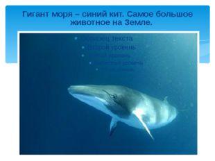 Гигант моря – синий кит. Самое большое животное на Земле.