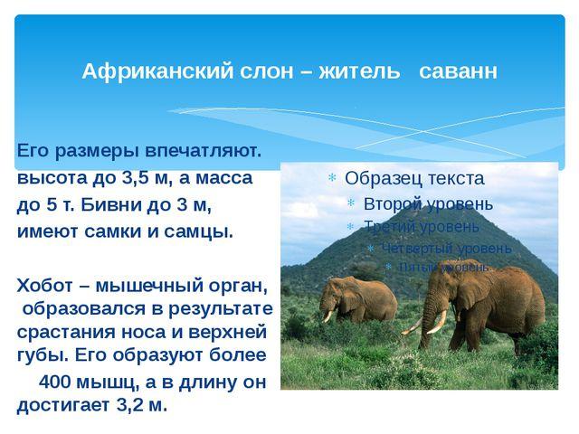 Африканский слон – житель саванн Его размеры впечатляют. высота до 3,5 м, а м...