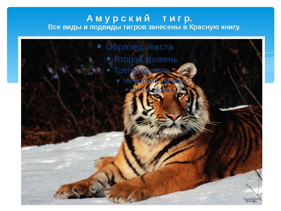 А м у р с к и й т и г р. Все виды и подвиды тигров занесены в Красную книгу....