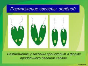 Размножение эвглены зелёной Размножение у эвглены происходит в форме продольн