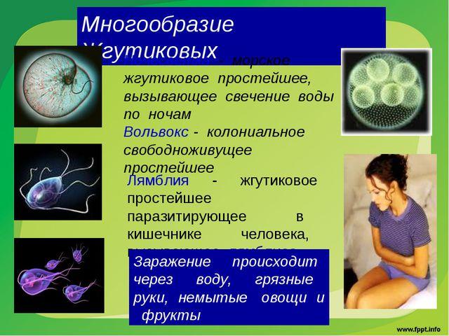 Многообразие Жгутиковых Ночесветка - морское жгутиковое простейшее, вызывающе...