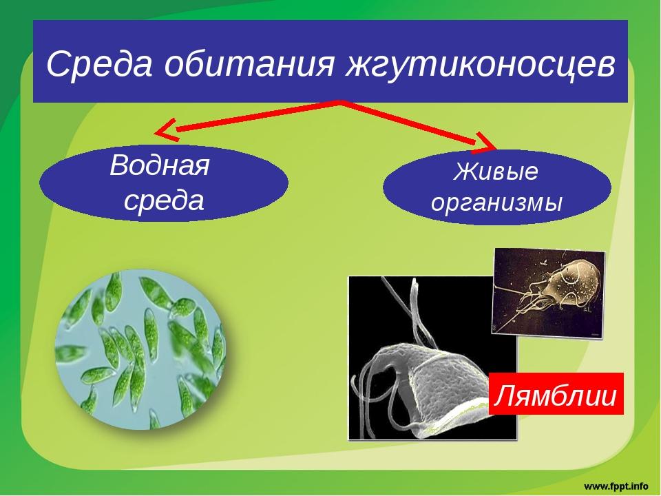 Среда обитания жгутиконосцев Водная среда Живые организмы Лямблии