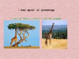 Қизиқарлиқ мәлуматлар Қуруқлуқтики әң егиз сүт әмгүчи –жираф.