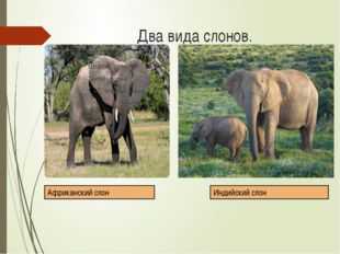 Два вида слонов. Африканский слон Индийский слон