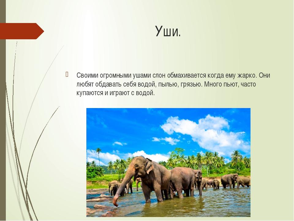 Уши. Своими огромными ушами слон обмахивается когда ему жарко. Они любят обда...