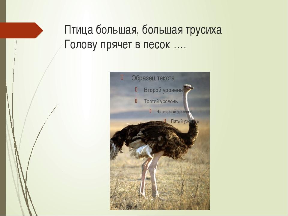 Птица большая, большая трусиха Голову прячет в песок ….