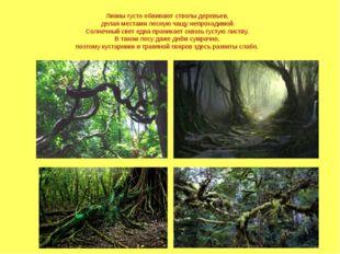 Лианы густо обвивают стволы деревьев, делая местами лесную чащу непроходимой.