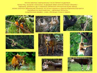 Многие животные экваториальных лесов обитают на деревьях. Кроме птиц, грызуно