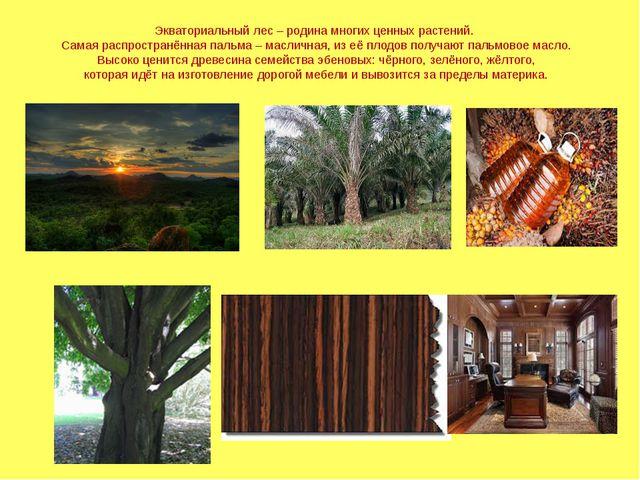 Экваториальный лес – родина многих ценных растений. Самая распространённая па...