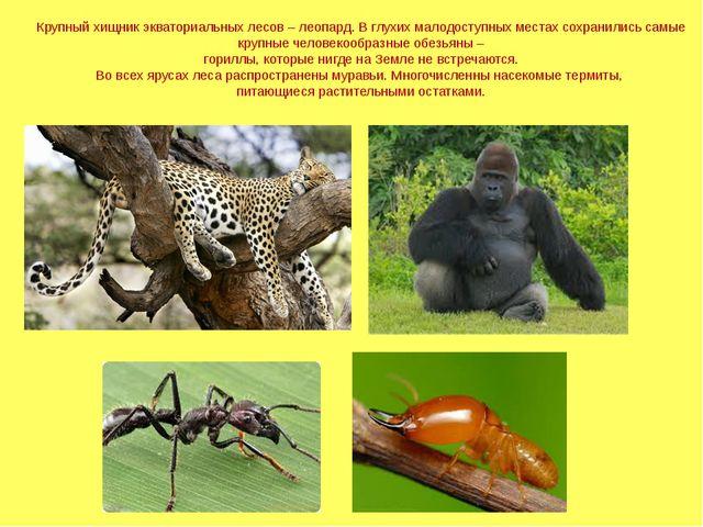 Крупный хищник экваториальных лесов – леопард. В глухих малодоступных местах...