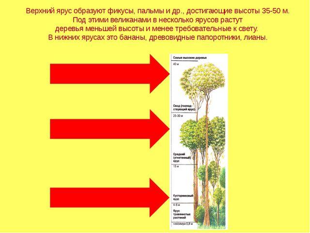 Верхний ярус образуют фикусы, пальмы и др., достигающие высоты 35-50 м. Под э...