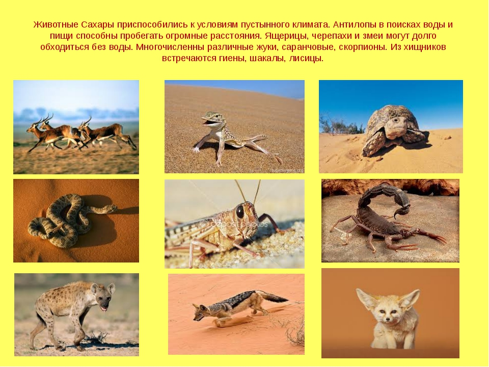 Животные Сахары приспособились к условиям пустынного климата. Антилопы в поис...