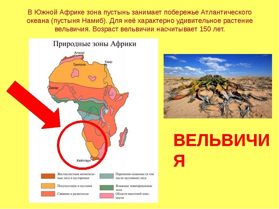 В Южной Африке зона пустынь занимает побережье Атлантического океана (пустыня...