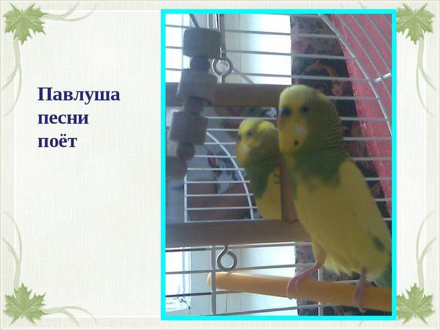 Павлуша песни поёт