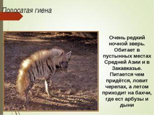 Полосатая гиена Очень редкий ночной зверь. Обитает в пустынных местах Средней
